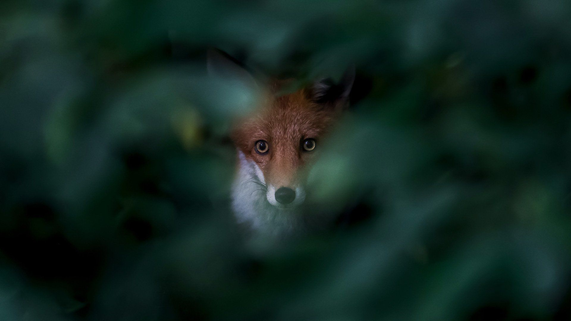 Ossi Saarinen's urban nature photography story: a fox stares at us through a gap in a bush, which is out of focus.